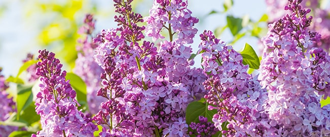 R&R Heating and Air Conditioning - Lilacs in Spokane