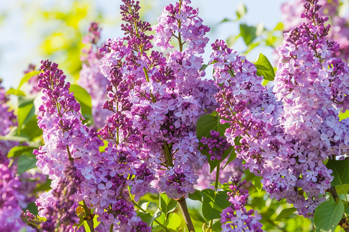 Blooming lilac tree branch